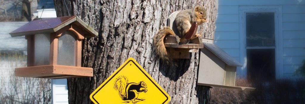 Sulken Squirrel - Fostoria Dentist